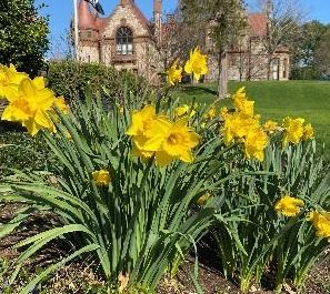 Town Hall Memorial_daffodils